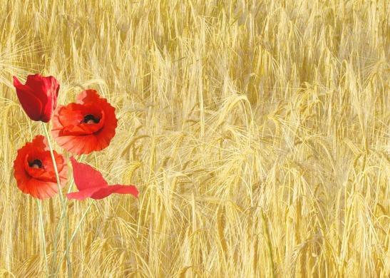 red-poppy-wheat field